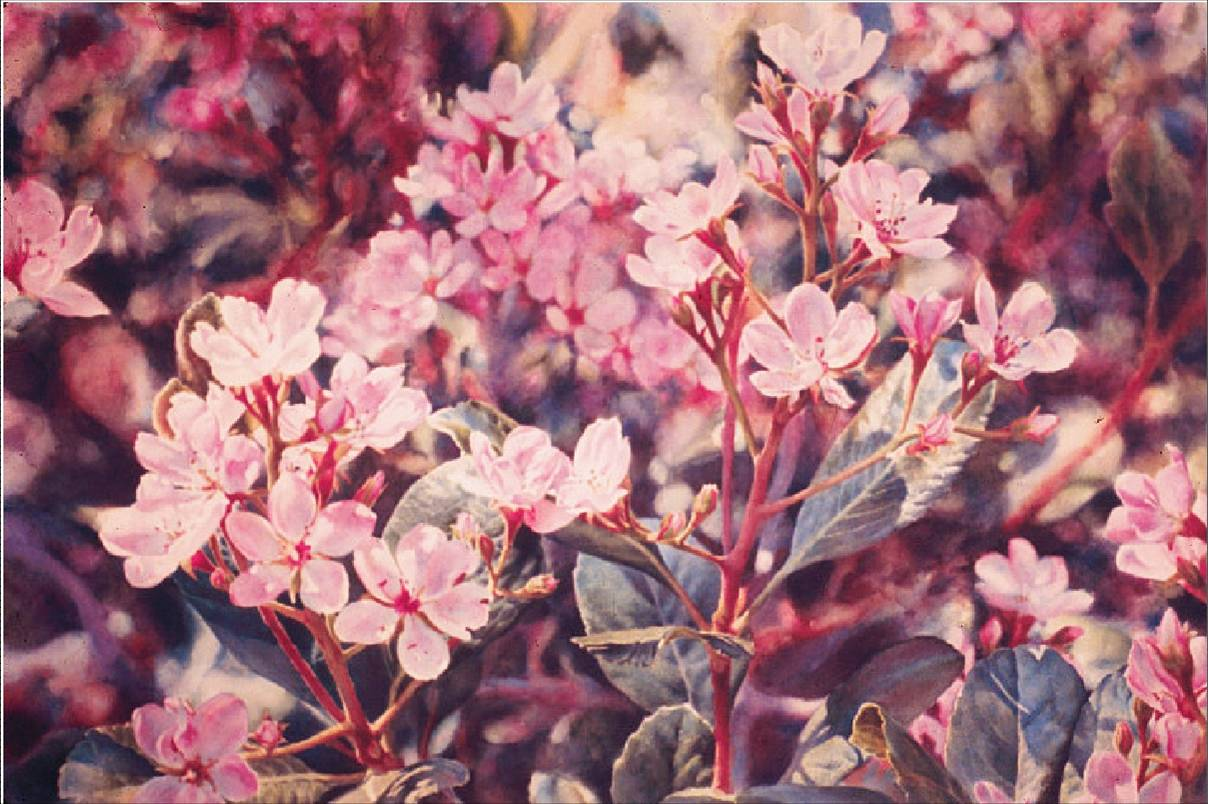 Indian Hawthorn - Fine art floral watercolor painting by Jim Grady